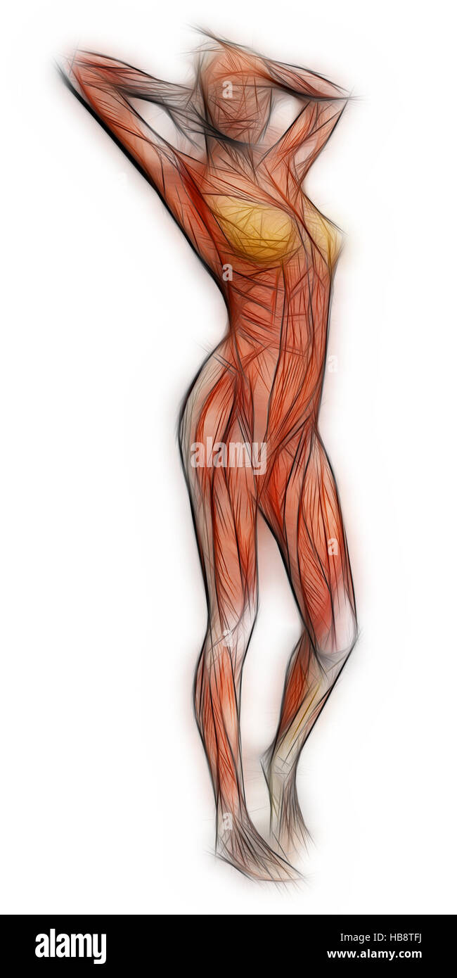 Menschliche Anatomie - weibliche Muskeln Stockfoto, Bild: 127428662 ...