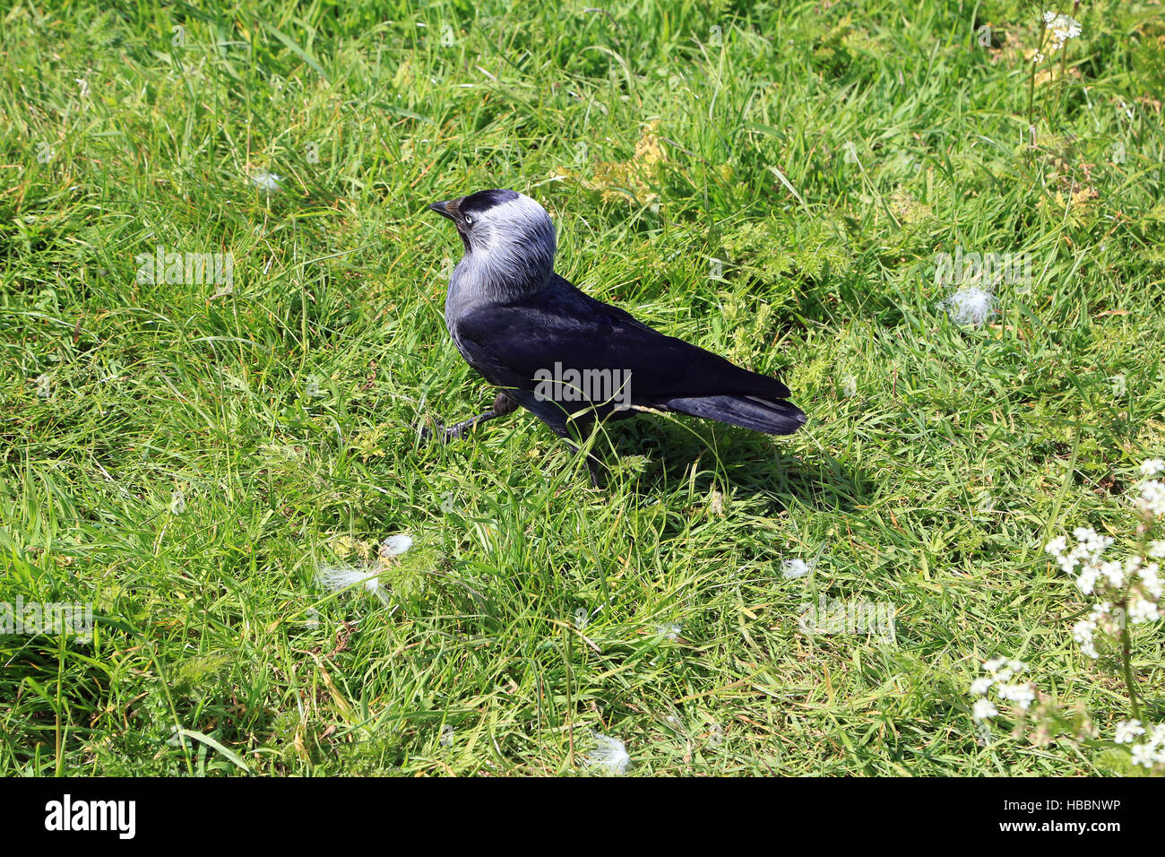 Dohle, Corvus monedula Stockbild