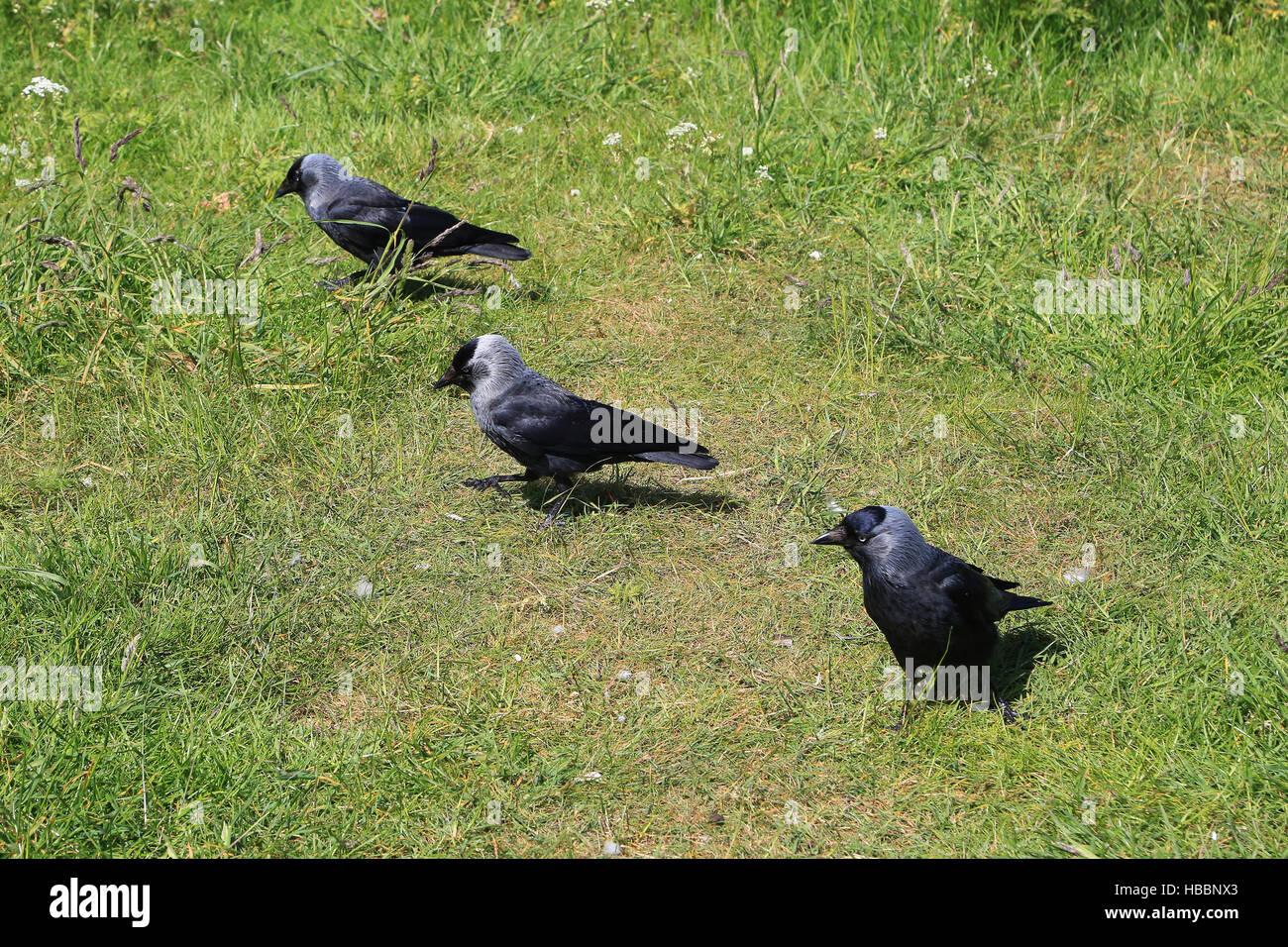 Dohlen, Dohlen, Corvus monedula Stockbild