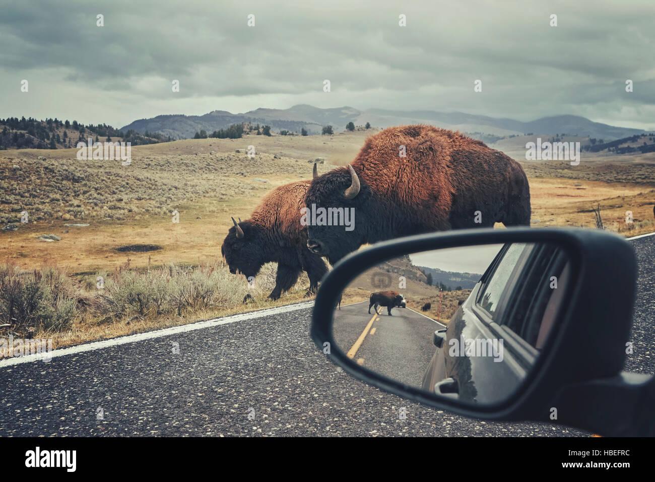 Retro getönten Foto des amerikanischen Bisons (Bison Bison) auf einer Straße gesehen von Auto Fahrersitz Stockbild