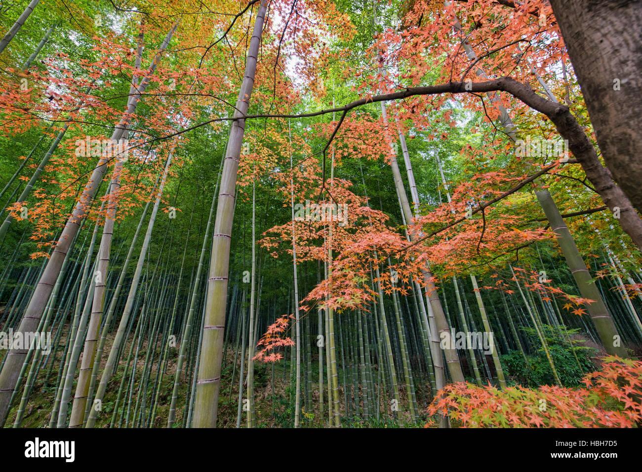 Herbstlaub Und Bambuswald Arashiyama Kyoto Japan Stockfoto Bild