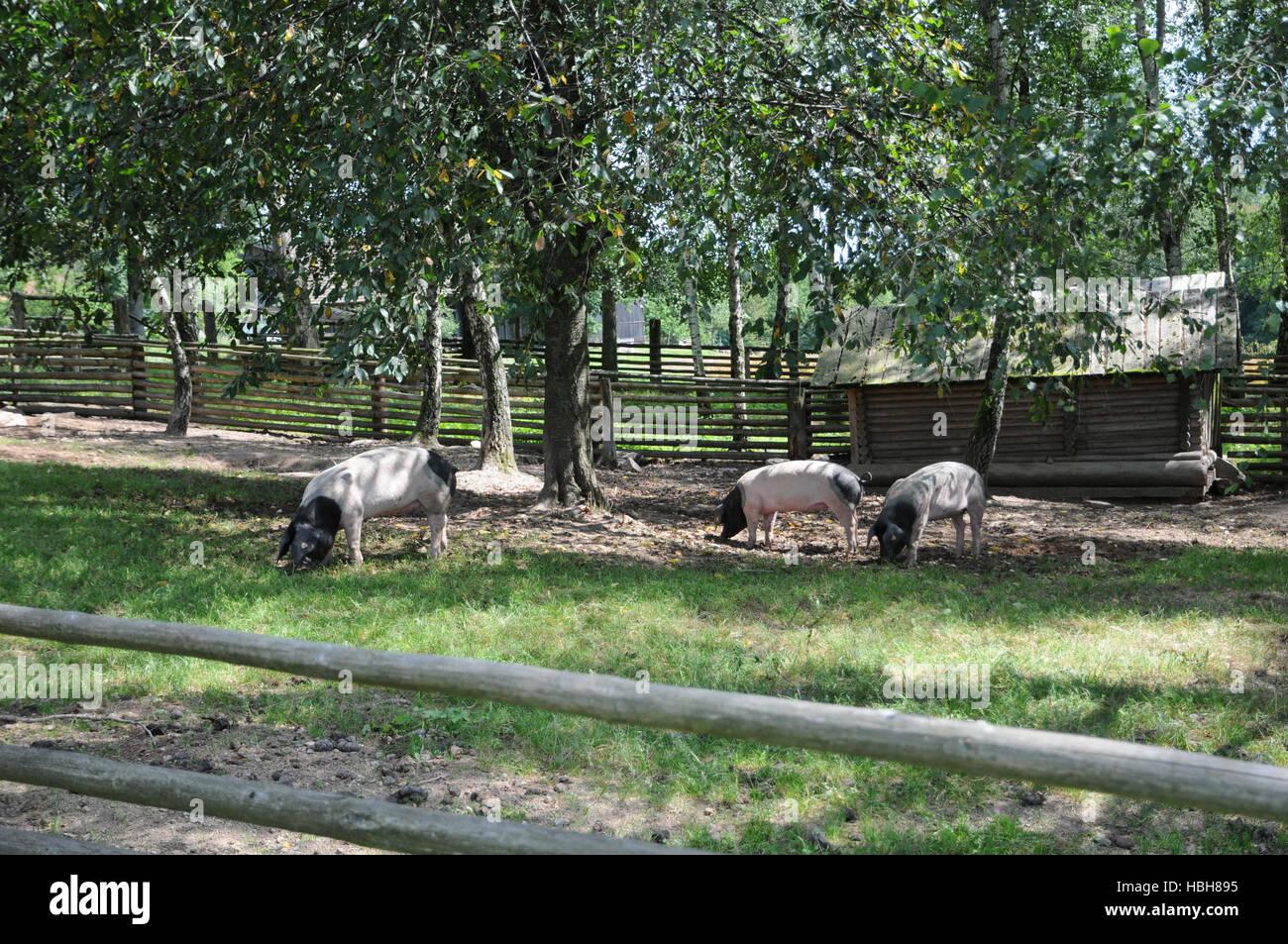 Sus Scrofa Domesticus, Schwäbisch-Hall-Schweine Stockfoto