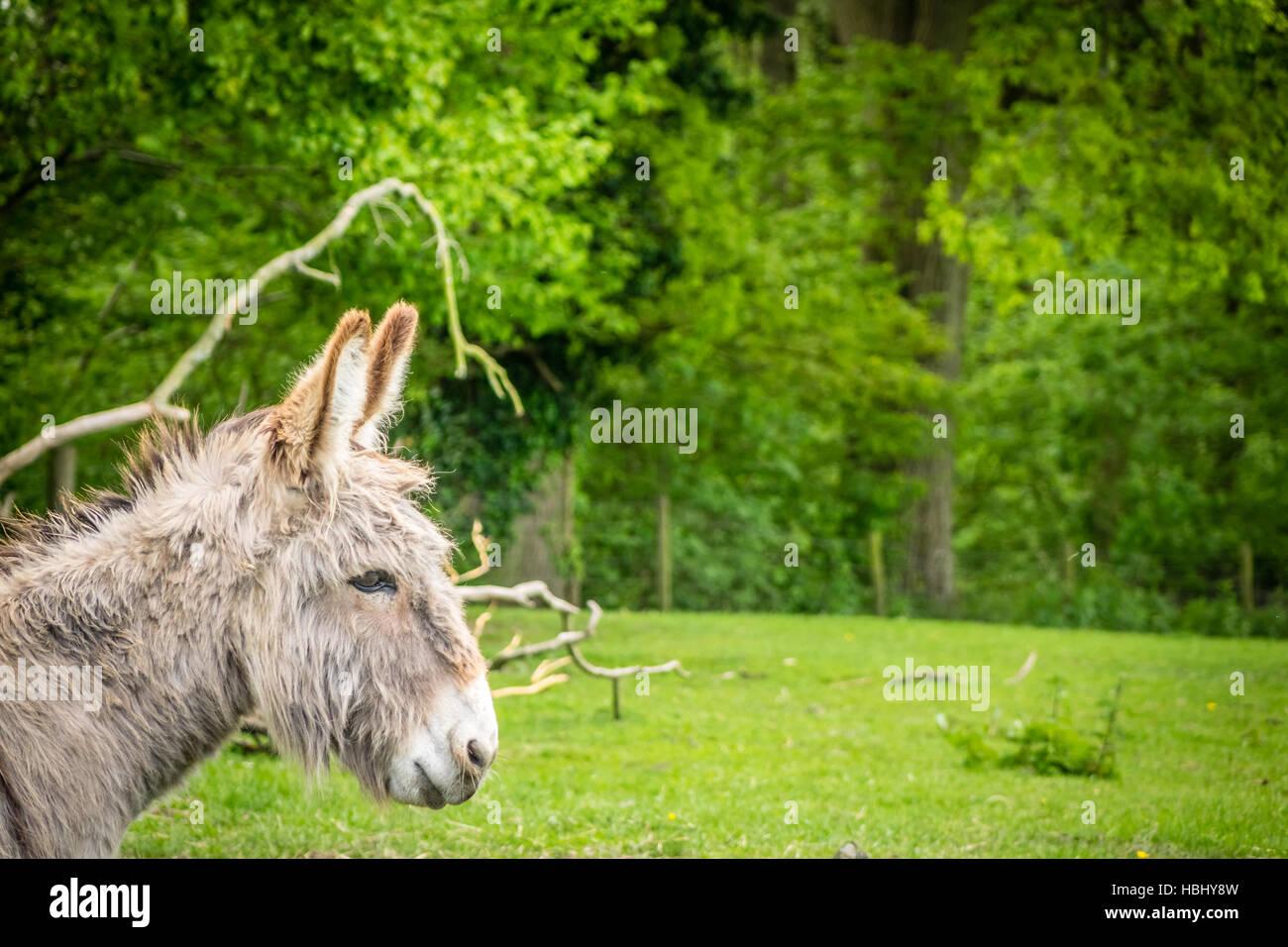Pelzigen Esel Stockbild