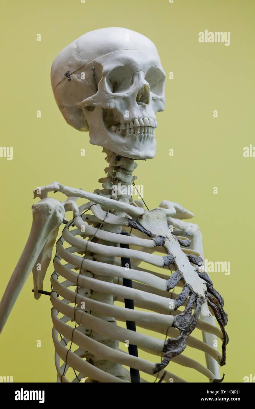 Menschliches Skelett Modell im Klassenzimmer - USA Stockbild