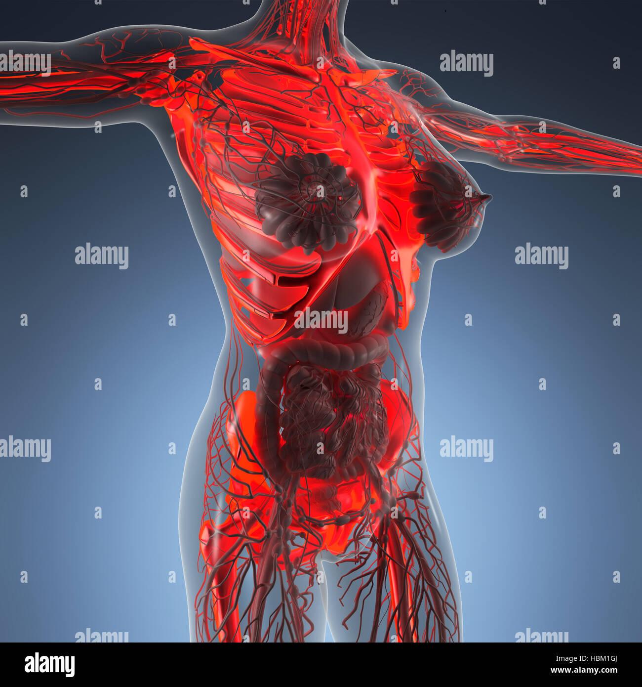 Anatomical Anatomy Physiology Pain Stockfotos & Anatomical Anatomy ...