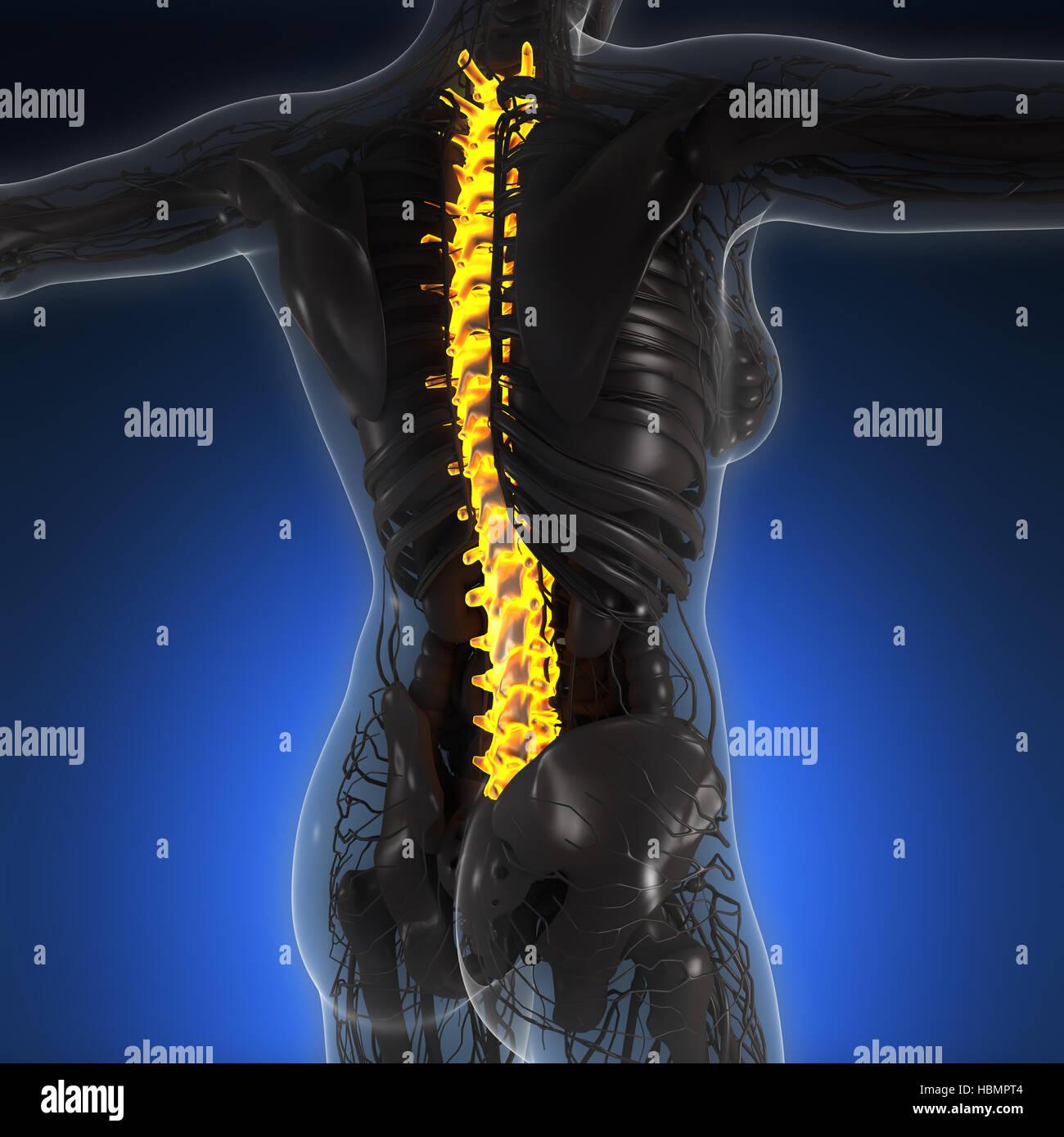 Wissenschaft-Anatomie des menschlichen Körpers im Röntgenbild mit ...