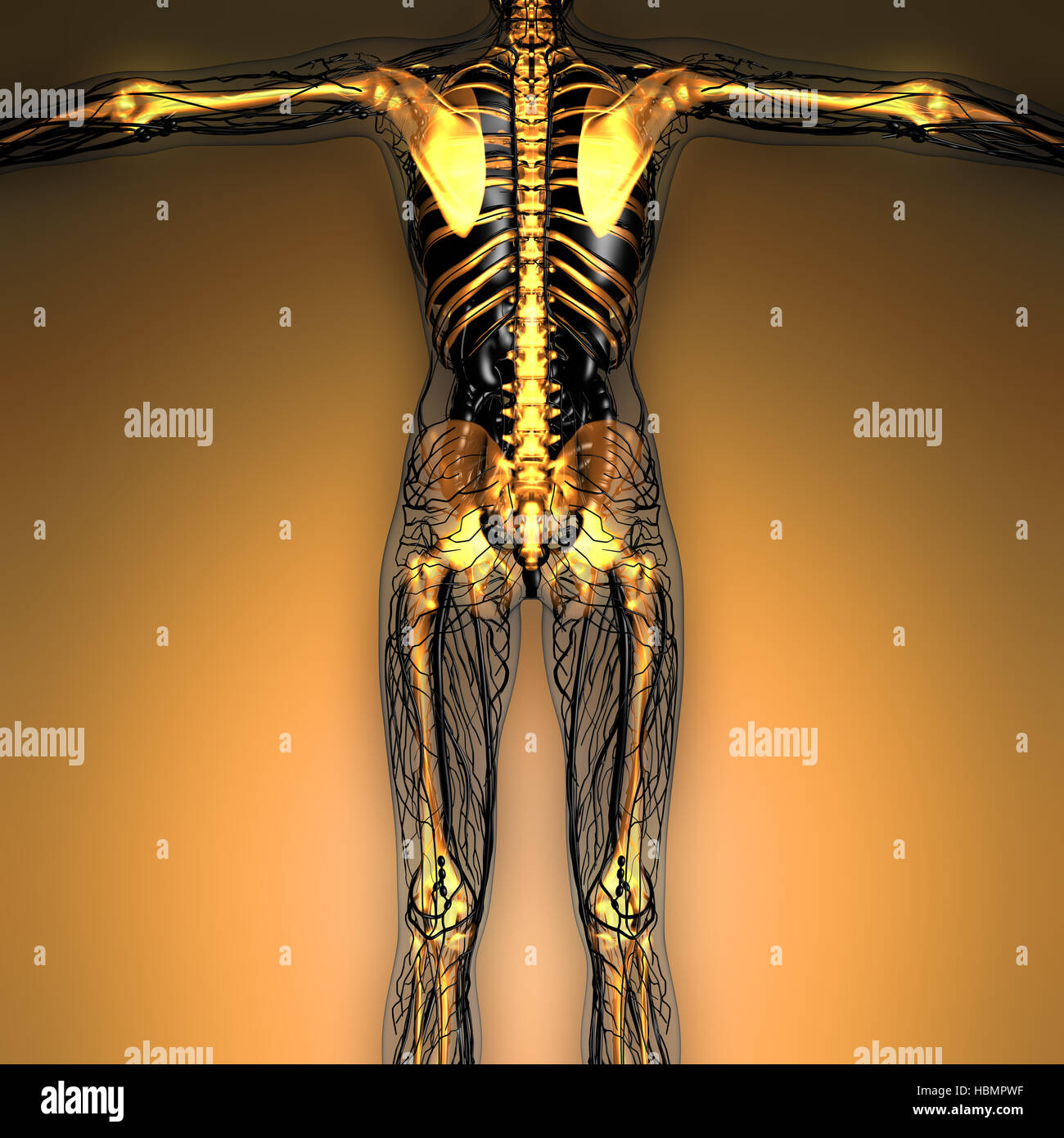 Fein Markierte Knochen Des Körpers Zeitgenössisch - Menschliche ...
