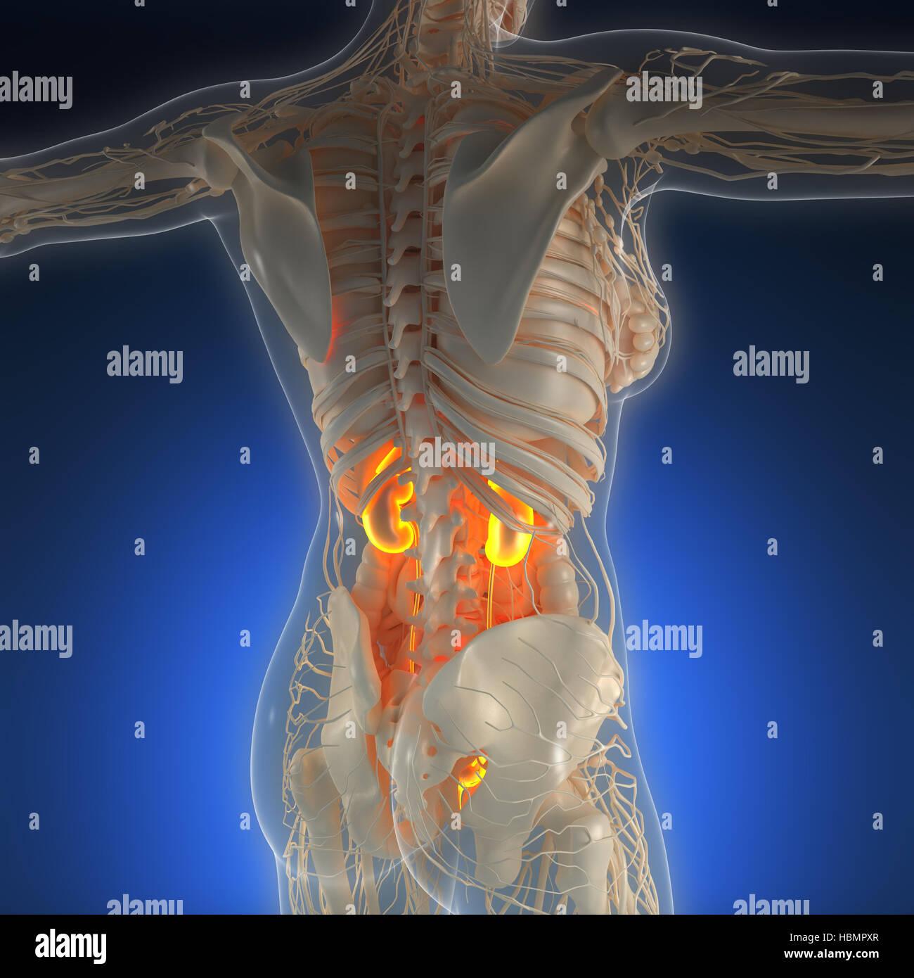 Atemberaubend Nieren Lage Bild Körper Zeitgenössisch - Physiologie ...