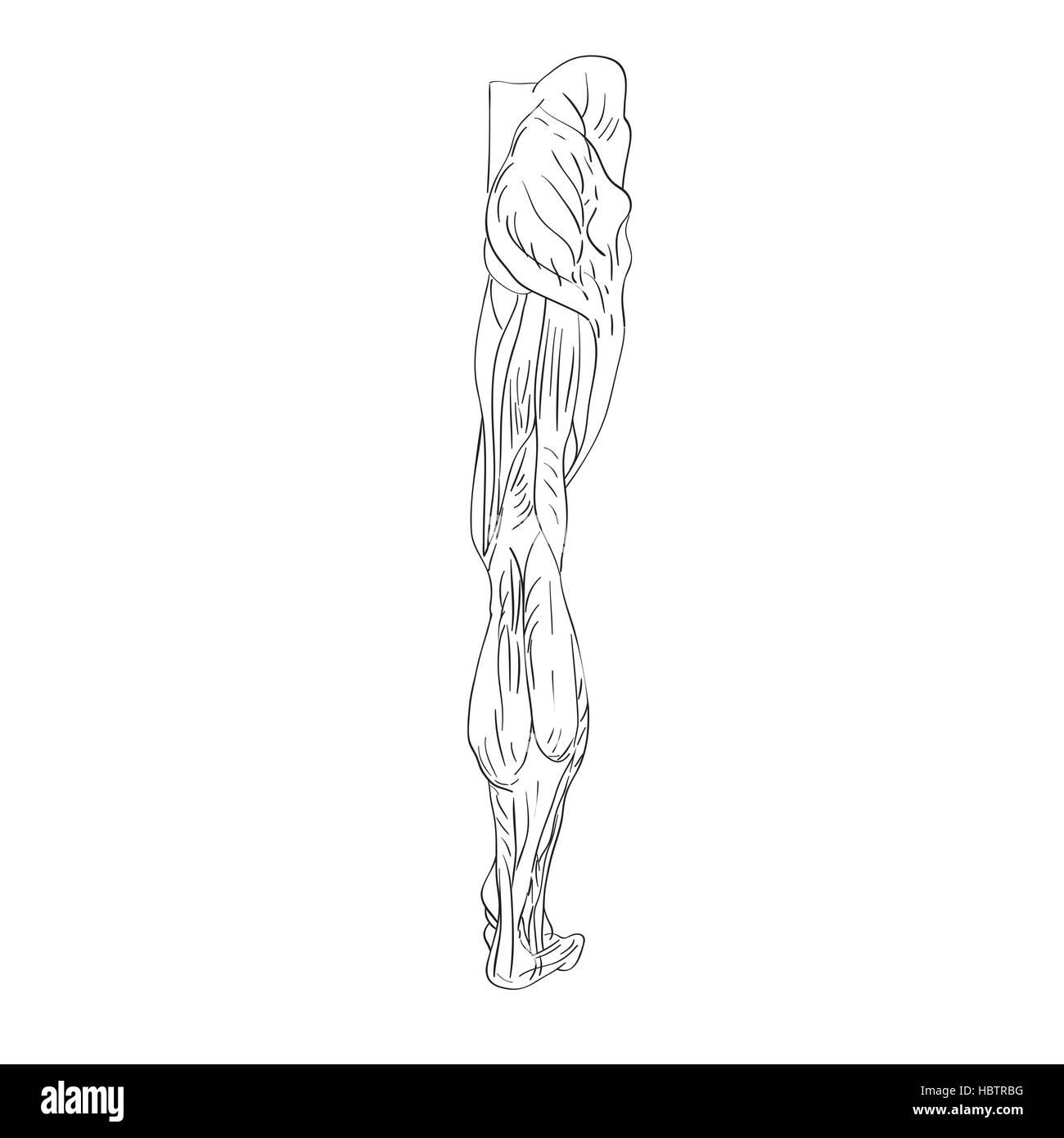 Nett Beinmuskulatur Quiz Galerie - Menschliche Anatomie Bilder ...