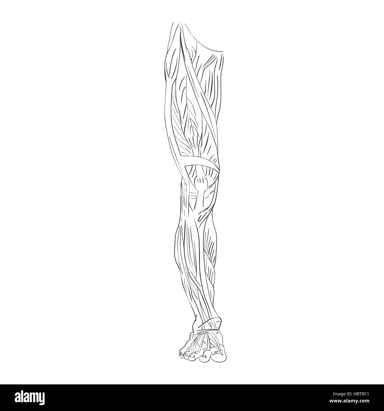 Bein Muskeln vorne Stockfoto, Bild: 127779009 - Alamy