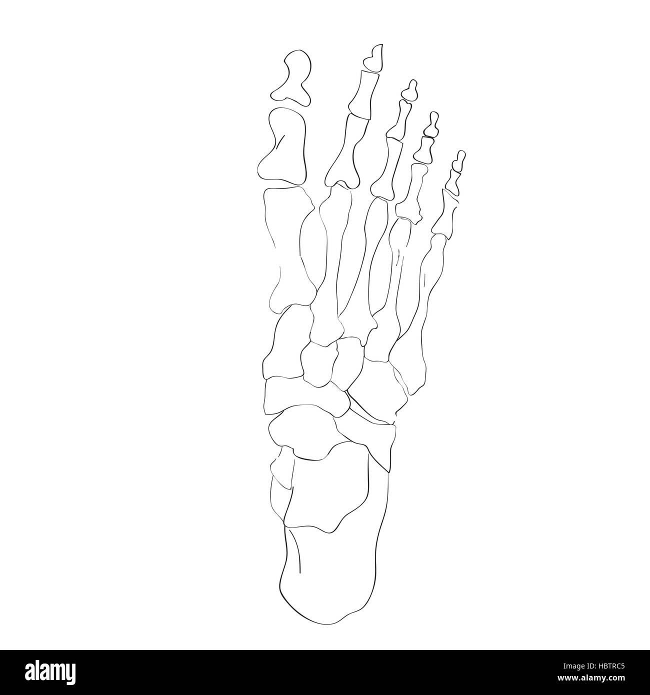 Großzügig Fußanatomie Knochen Bilder - Anatomie Ideen - finotti.info