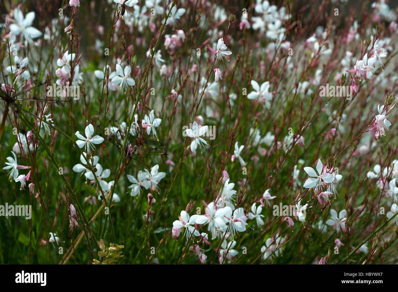 Gaura Lindheimeri Stockfotos Gaura Lindheimeri Bilder Alamy