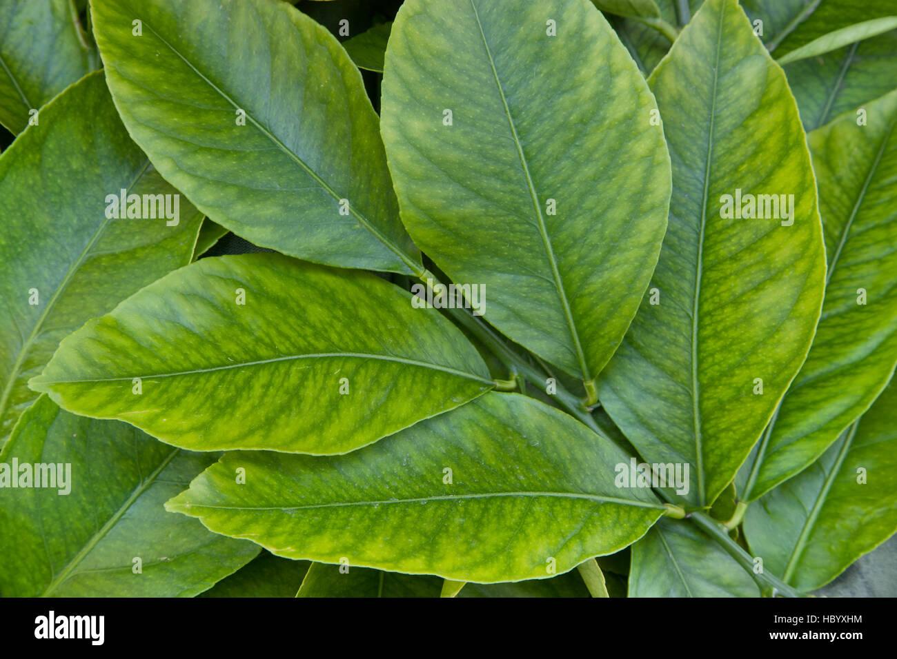 Junge Zitrone Blätter, Zweig 'Citrus Limon'. Stockbild