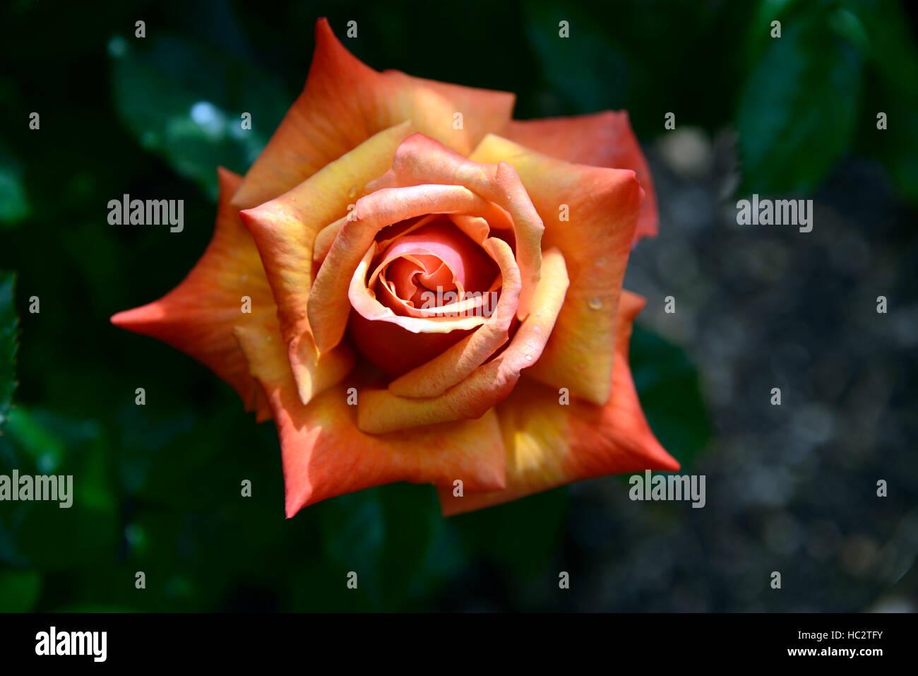 Rosa erinnern mich Cocdestin Hybride Tee orange rose Rosen Duft Blume Blumen Blüte Strauch Sträucher Farbe Stockbild