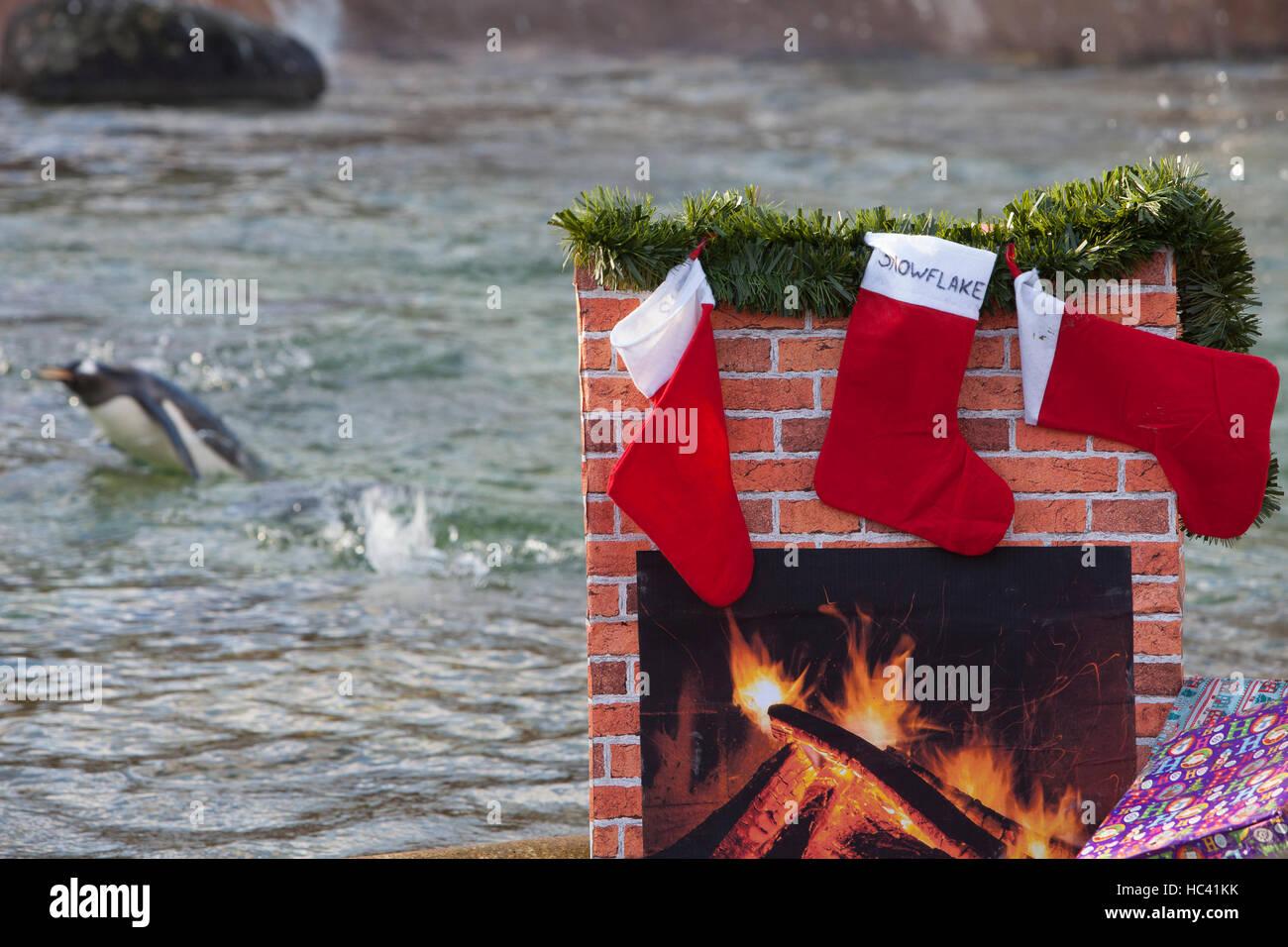 Edinburgh, UK. 7. Dezember 2016. Pinguine holen Geschenke für Weihnachten im Pinguin Rock im RZSS Edinburgh Stockbild