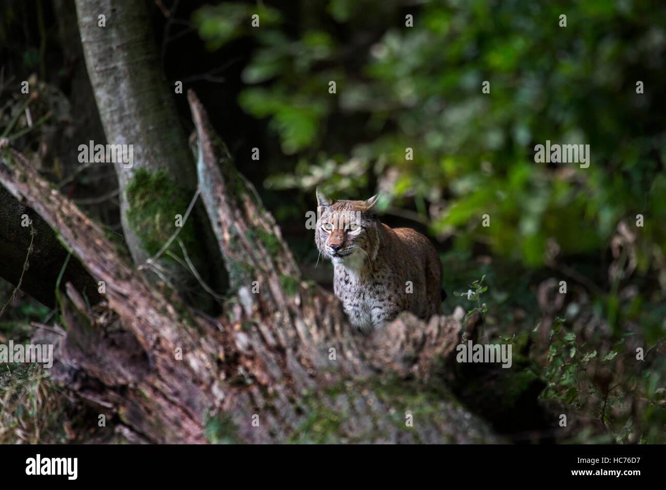 Eurasischer Luchs (Lynx Lynx) stalking Beute im Wald jagen Stockbild