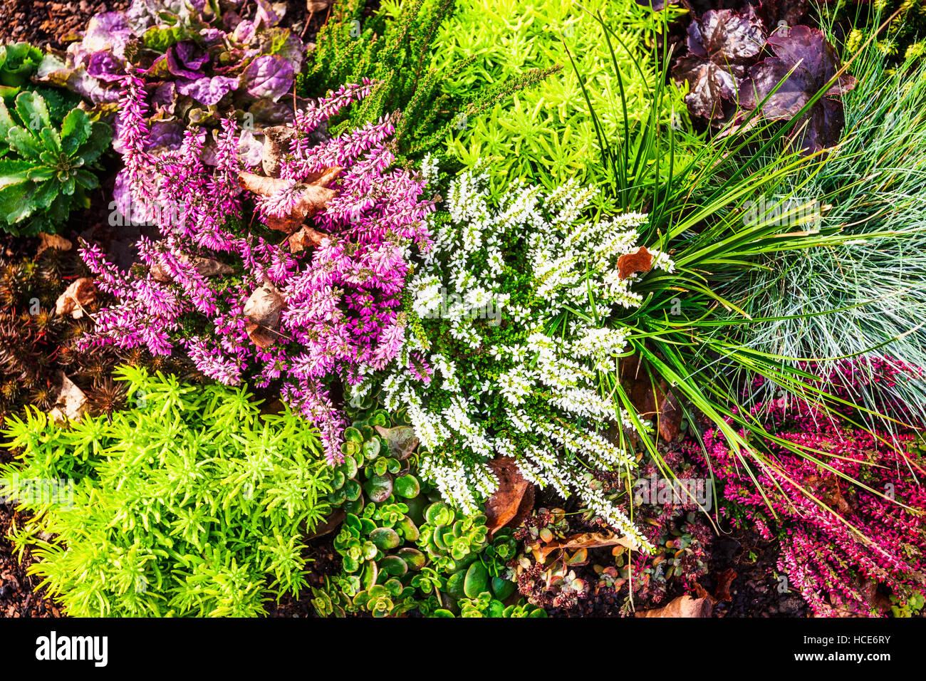 herbstblumen blumenbeet mit rosa heidekraut rasen und pflanzen floraler hintergrund grab. Black Bedroom Furniture Sets. Home Design Ideas