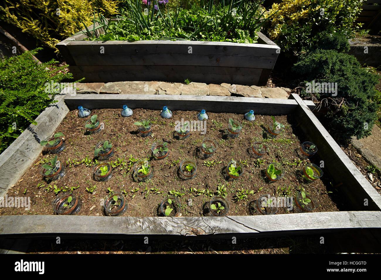 Hochbeet Mit Geschutzten Pflanzen In Einem Garten In Wales Uk