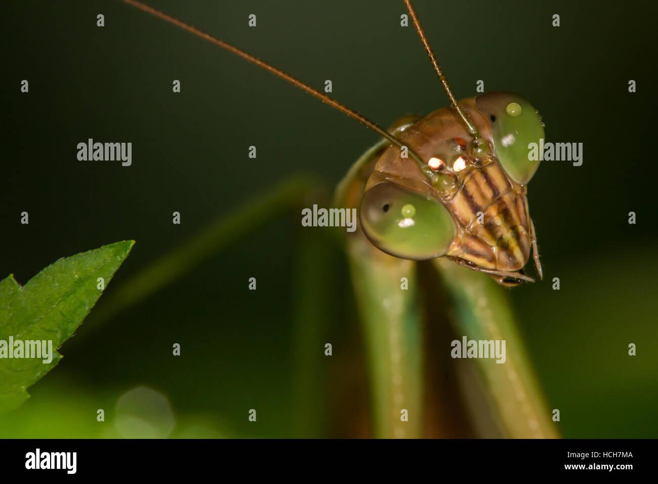 Nahaufnahme von einer Gottesanbeterin zeigt Augen und Antennen Stockbild