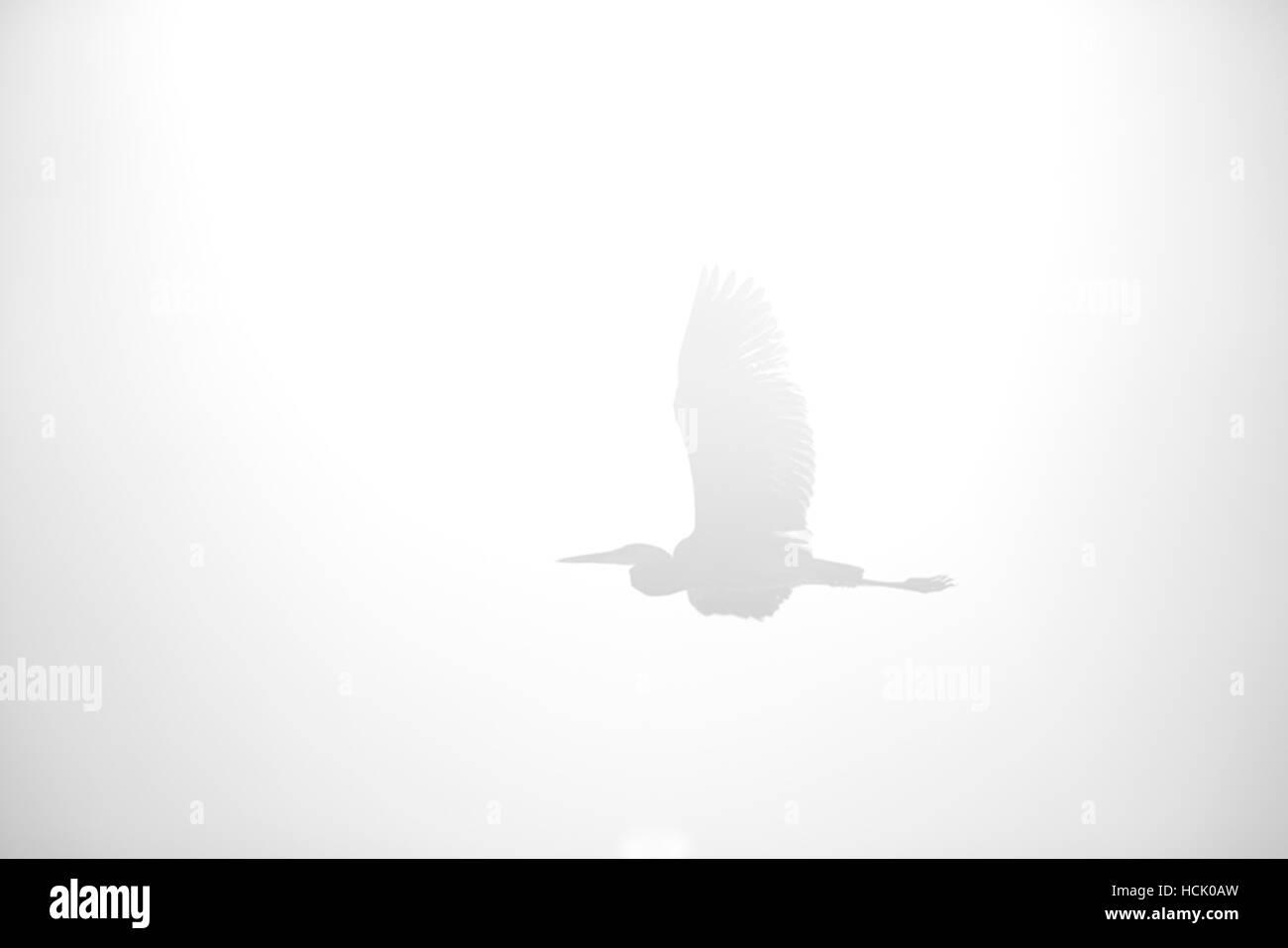 Ein ätherischer Blick auf einen großen Reiher fliegen mit Flügeln zu verbreiten. Stockbild