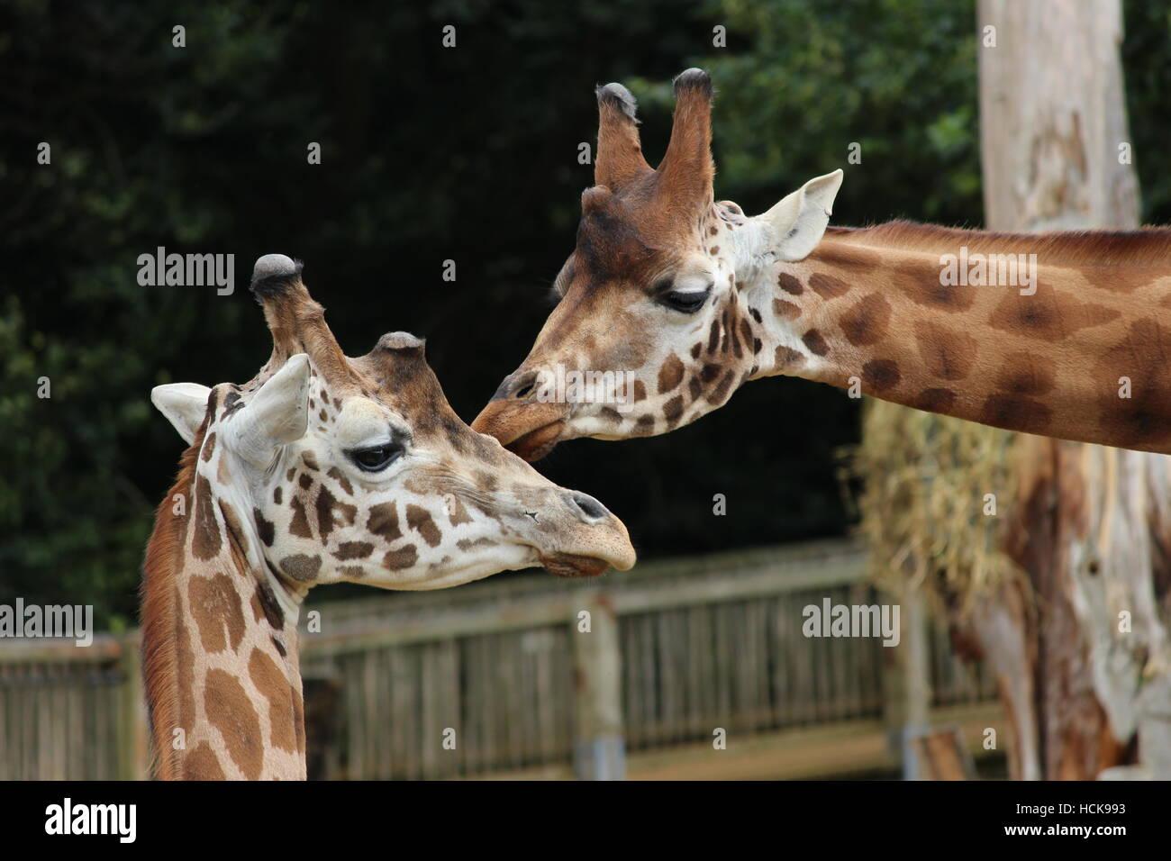 Mutter-Kind-Giraffen küssen Pflege kommunizierenden Porträt Kopfschüsse Kopf geschossen Cotswold Stockbild