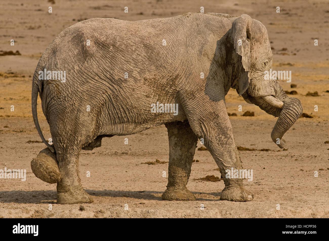 Wüste Elefant (Loxodonta Africana) in einer Yoga-pose Stockbild