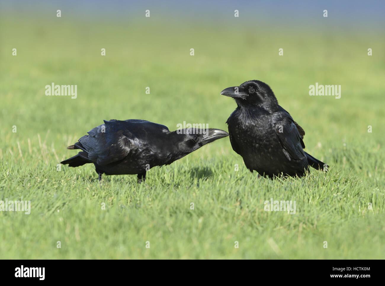 Kolkrabe - Corvus corax Stockbild