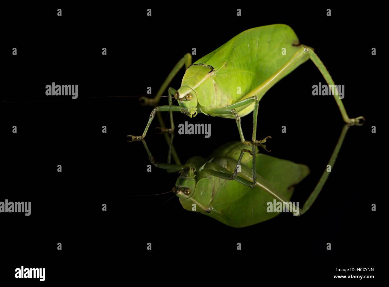 Grashuepfer (Tettigoniidae), Gefangenschaft, Costa Rica Stockbild