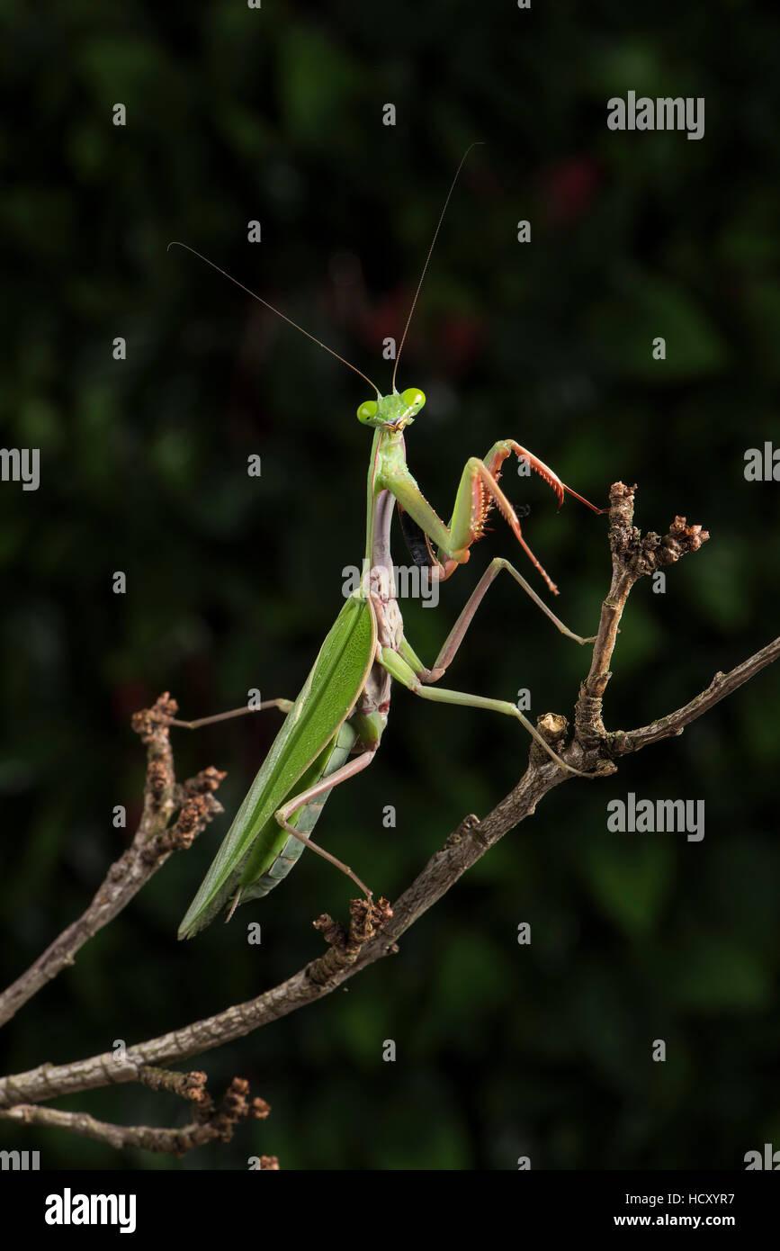 Kleben Sie, Mantis (Mantodea), Gefangenschaft, Sambia, Afrika Stockbild
