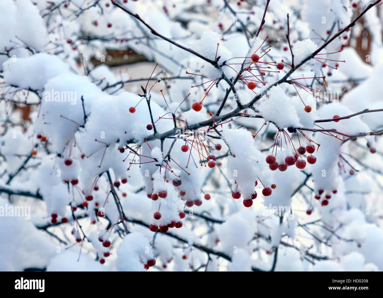 hartriegel baum im winter mit schnee bedeckten bl ttern. Black Bedroom Furniture Sets. Home Design Ideas