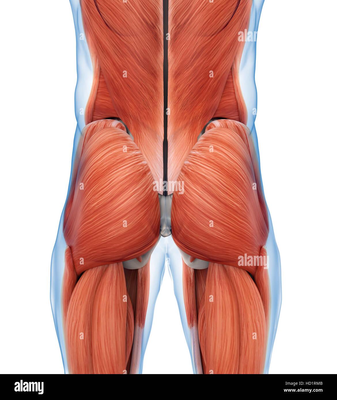 Gesäß Muskeln Anatomie Stockfoto, Bild: 128503659 - Alamy