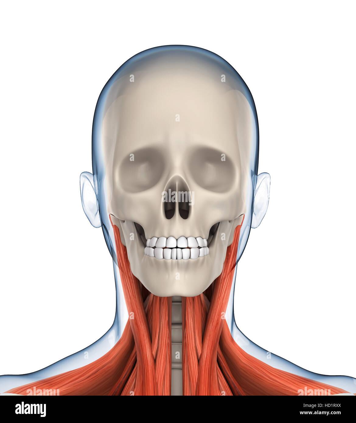 Anatomic Head Stockfotos & Anatomic Head Bilder - Alamy