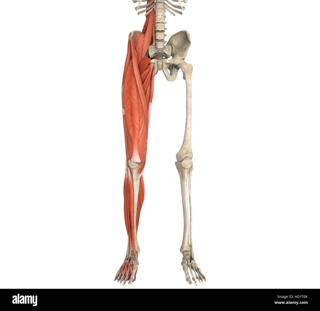 Beine Muskeln Anatomie Stockfoto, Bild: 128503891 - Alamy