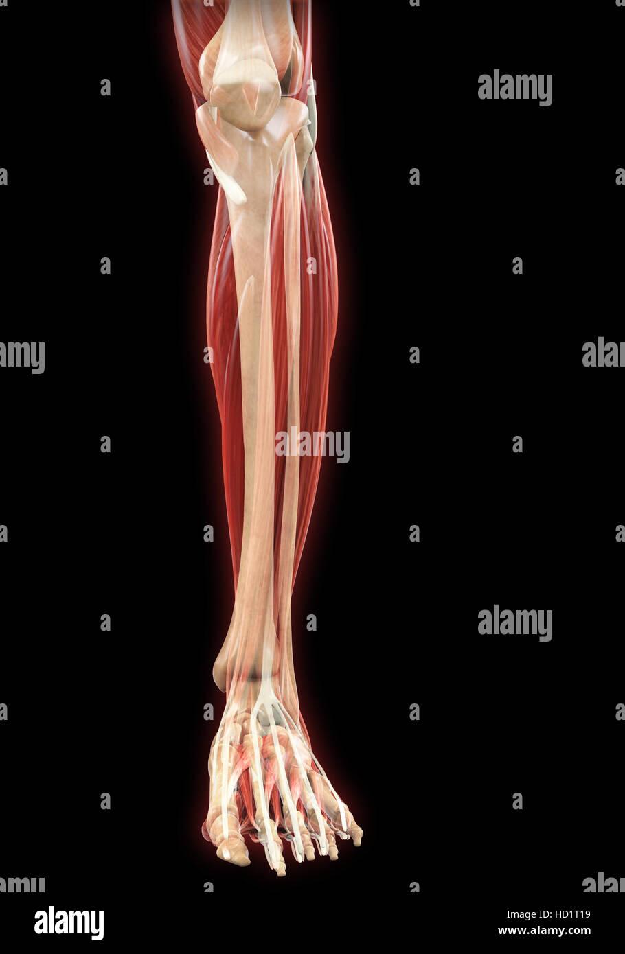 Unteren Beine Muskeln Anatomie Stockfoto, Bild: 128503909 - Alamy