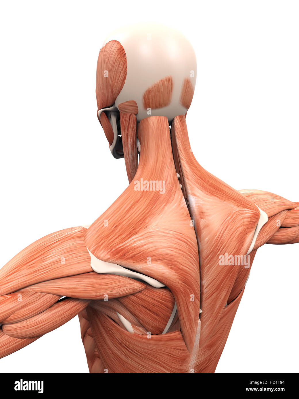 Muskuläre Anatomie des Rückens Stockfoto, Bild: 128504100 - Alamy