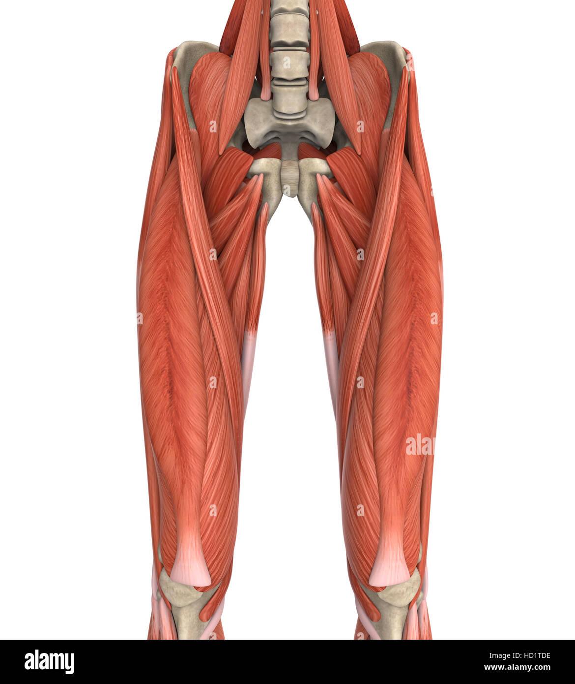 Oberschenkel Muskeln Anatomie Stockfoto, Bild: 128504250 - Alamy