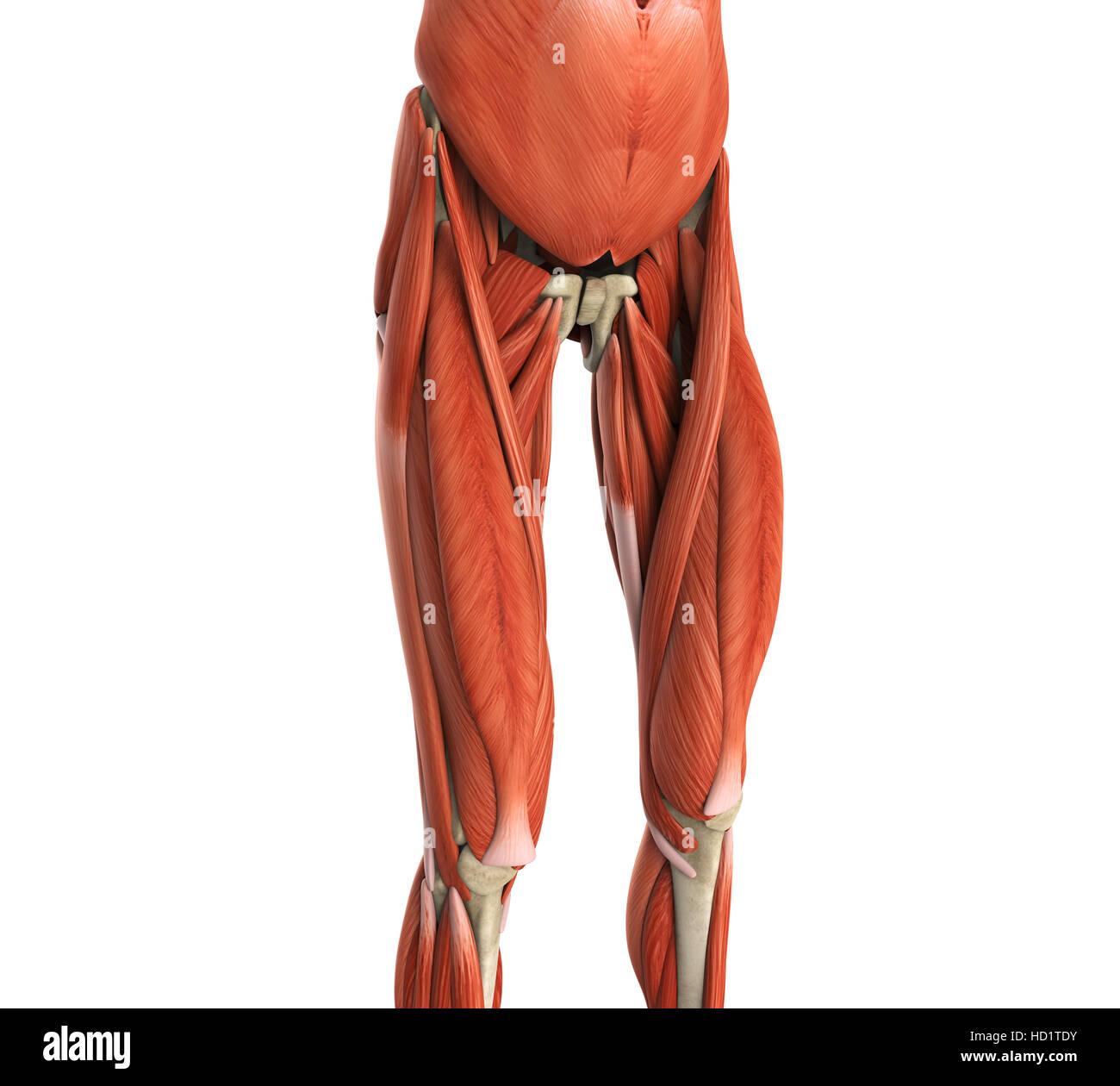 Oberschenkel Muskeln Anatomie Stockfoto, Bild: 128504263 - Alamy
