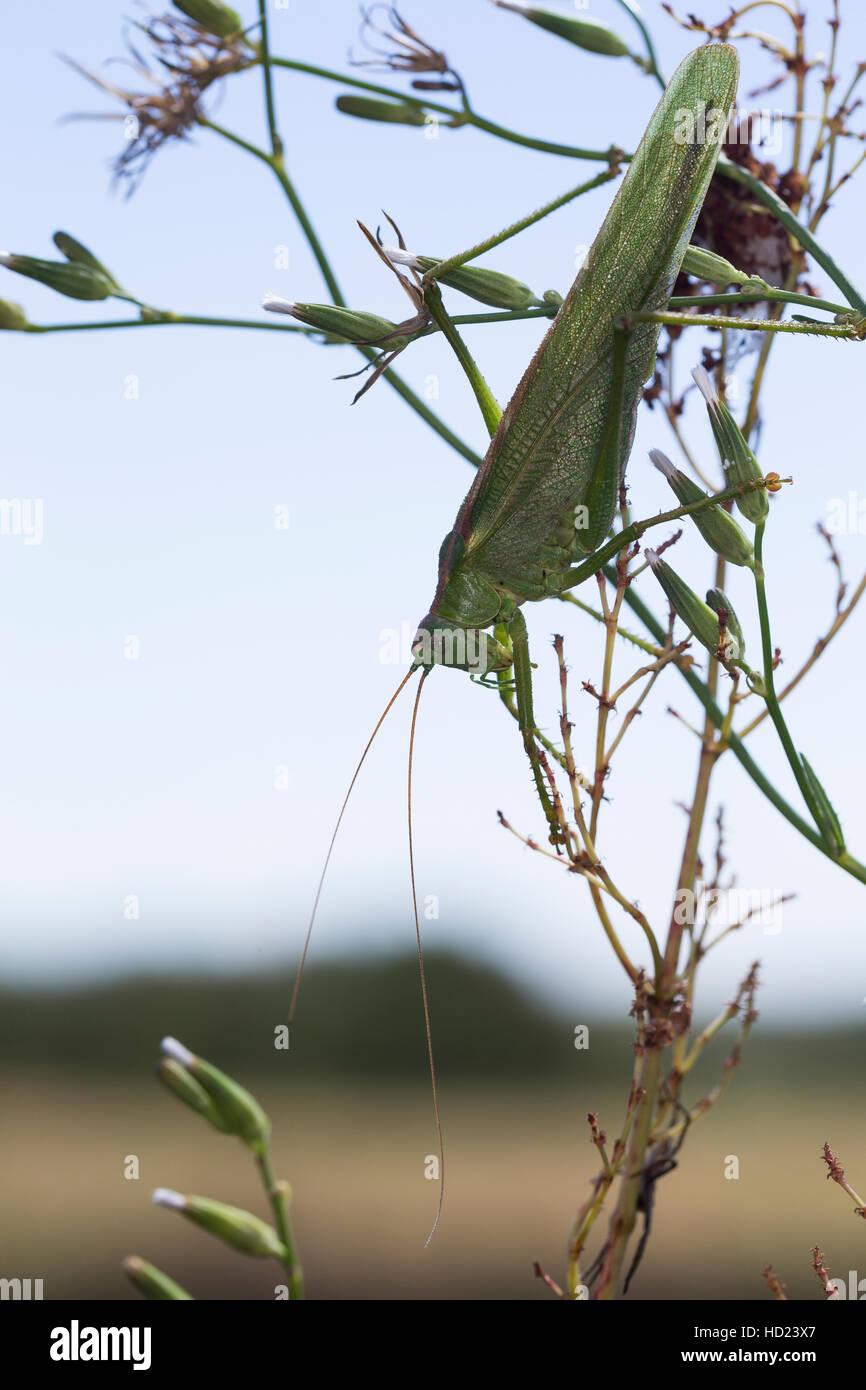 Grünes Heupferd, Weibchen Mit Langem Legebohrer, Großes Heupferd, Grüne Laubheuschrecke, Großes Stockbild