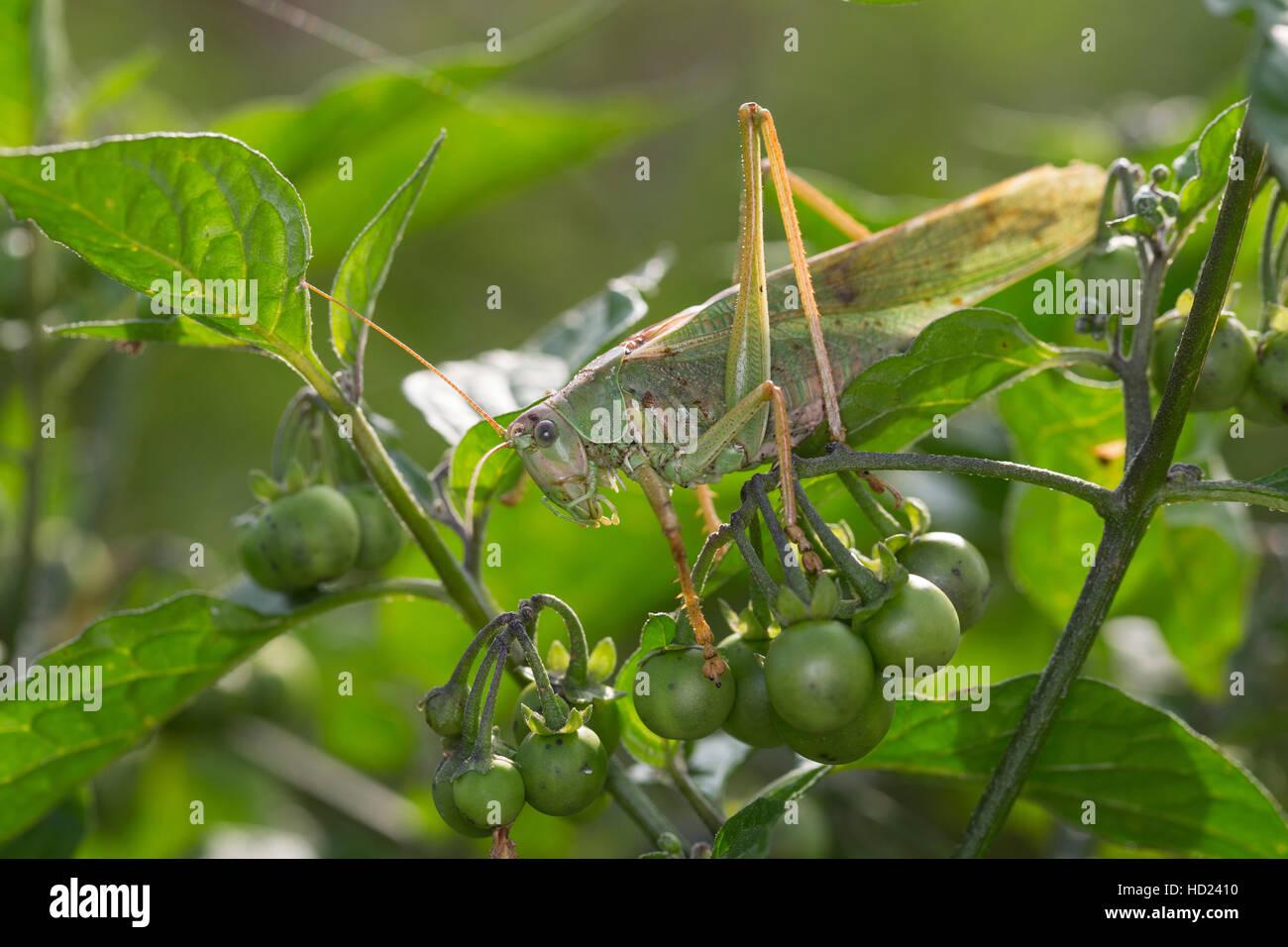Grünes Heupferd, Männchen, Großes Heupferd, Großes Grünes Heupferd, Grüne Laubheuschrecke Stockbild