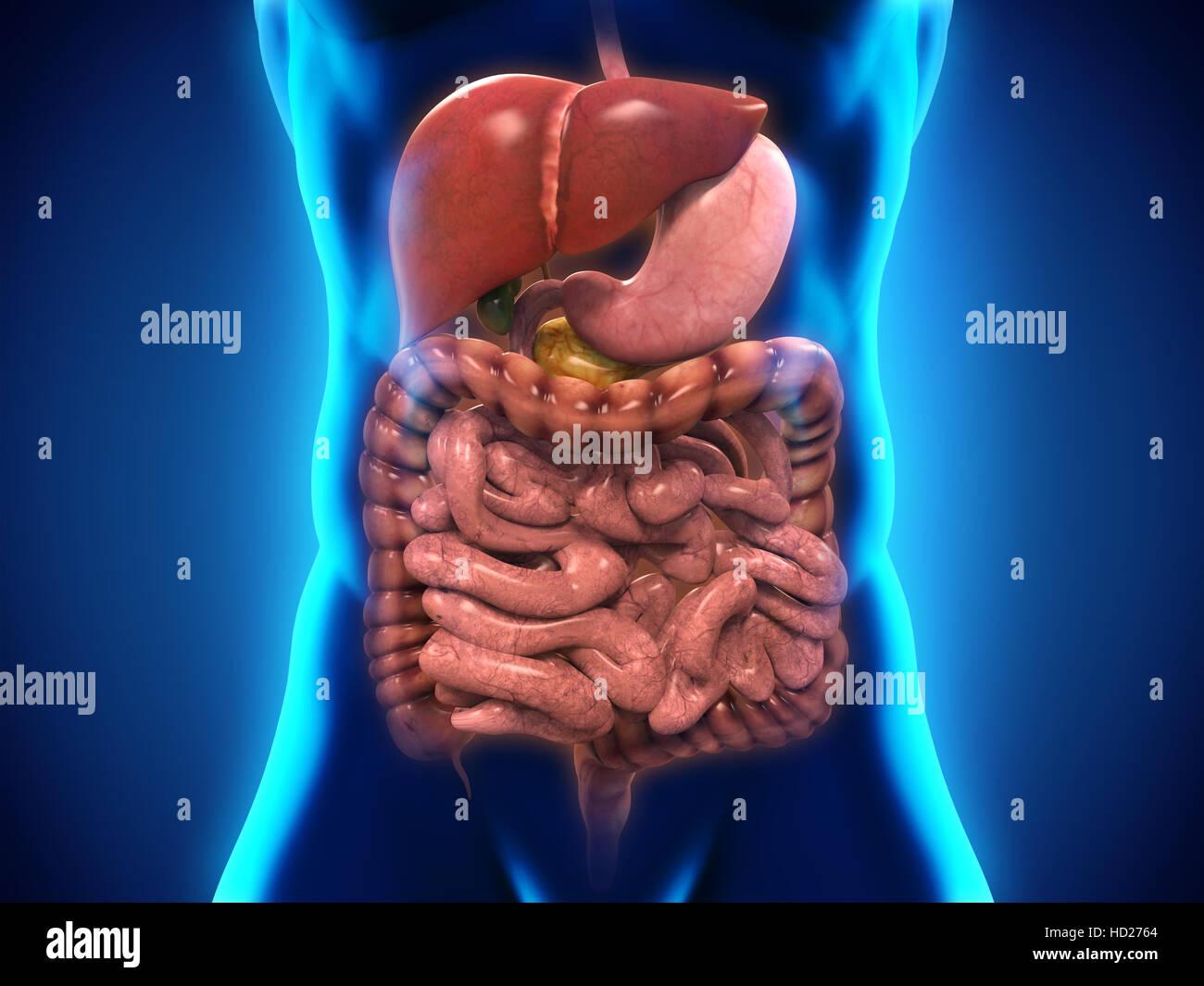 Ungewöhnlich Menschliche Verdauungssystem Gekennzeichnet ...