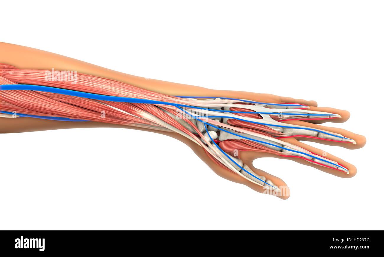 Anatomie der menschlichen Hand Stockfoto, Bild: 128514272 - Alamy