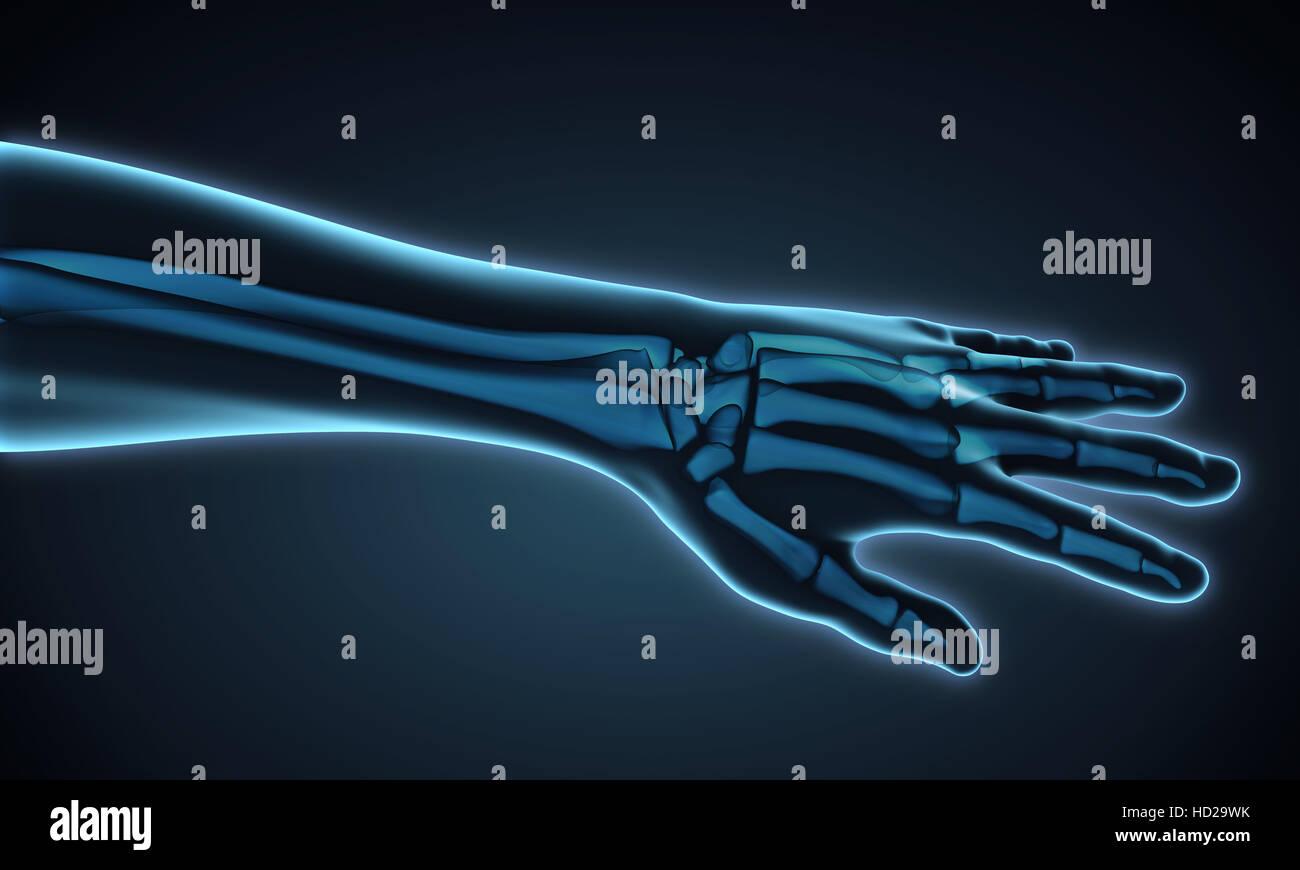Anatomie der menschlichen Hand Stockfoto, Bild: 128514783 - Alamy