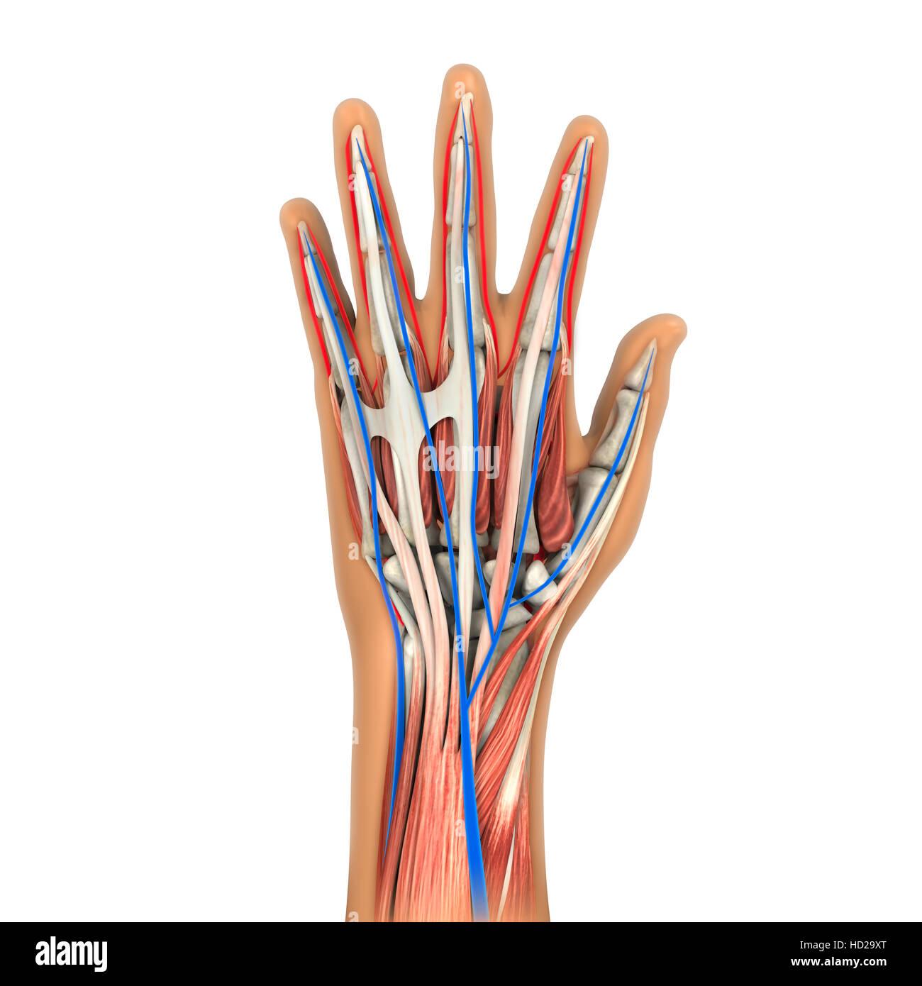 Anatomie der menschlichen Hand Stockfoto, Bild: 128514816 - Alamy