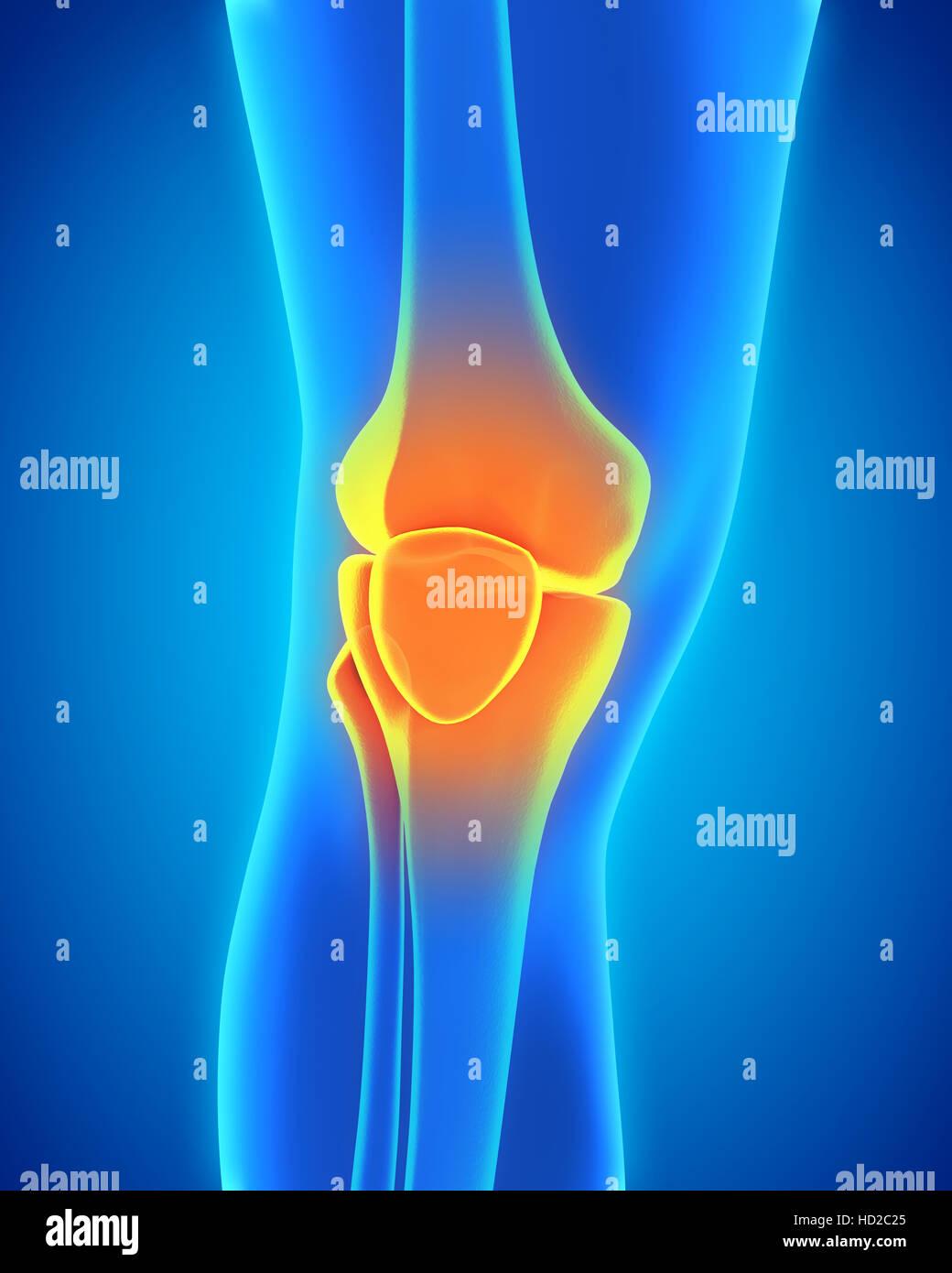 Anatomie der menschlichen Knie Stockfoto, Bild: 128516477 - Alamy