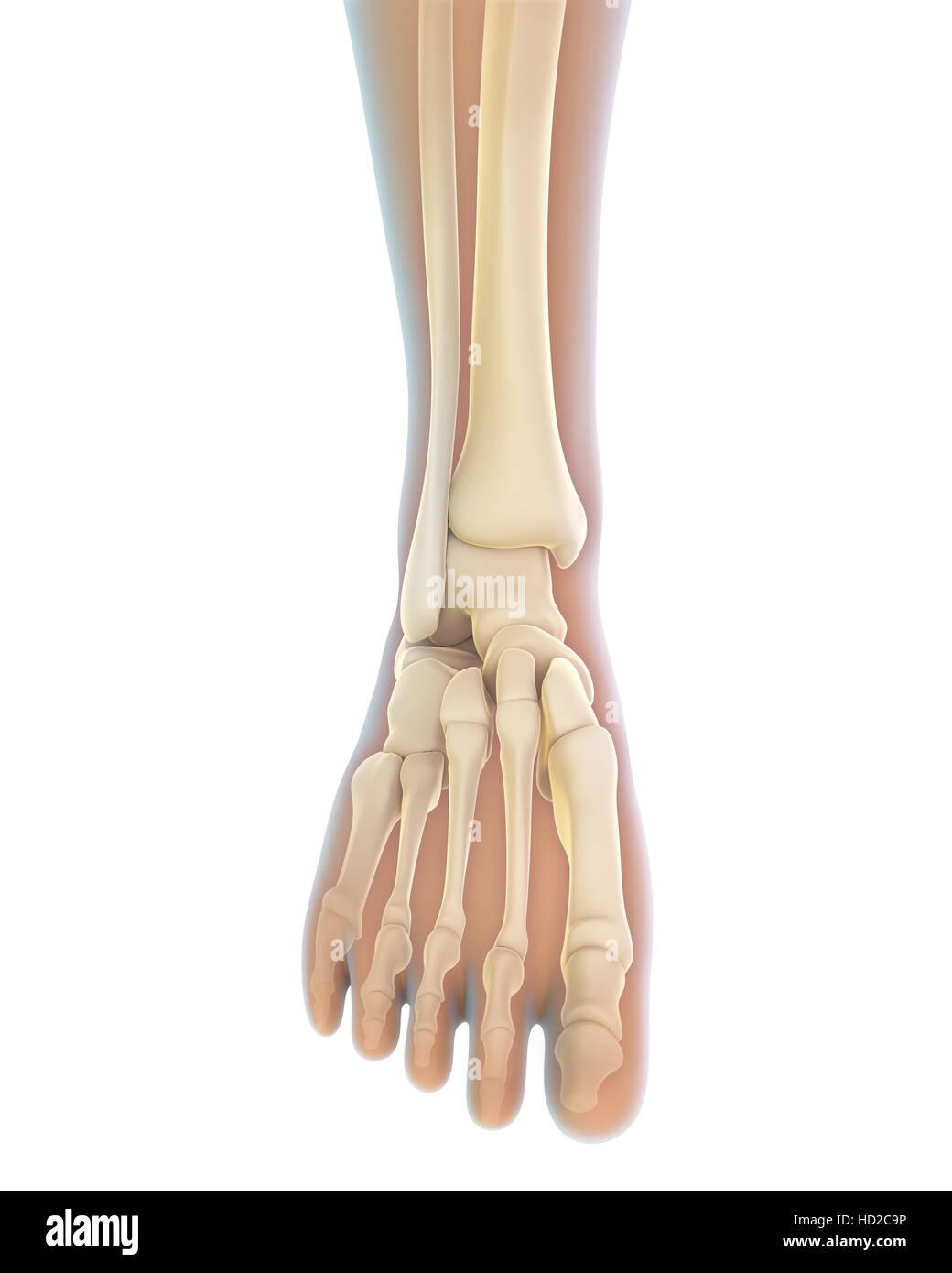 Anatomie des menschlichen Fußes Stockfoto, Bild: 128516690 - Alamy