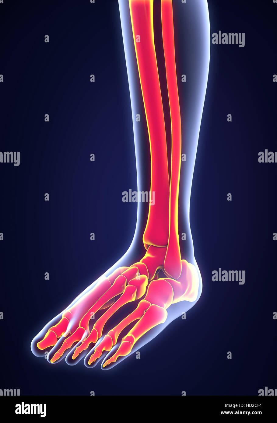 Anatomie des menschlichen Fußes Stockfoto, Bild: 128516840 - Alamy