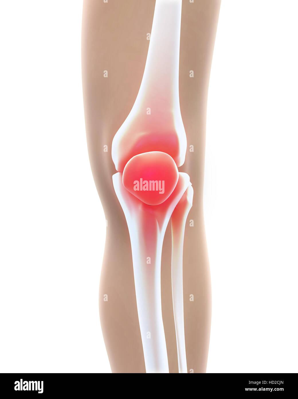 Anatomie der menschlichen Knie Stockfoto, Bild: 128516941 - Alamy