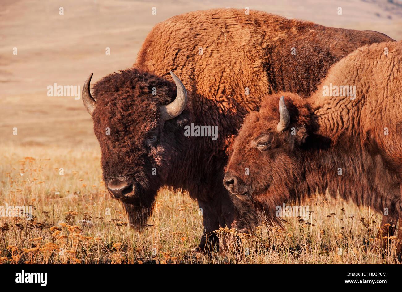 Bison-paar, männlich und weiblich, in die National Bison Range, Montana, in  der Morgendämmerung. f0dbae298d