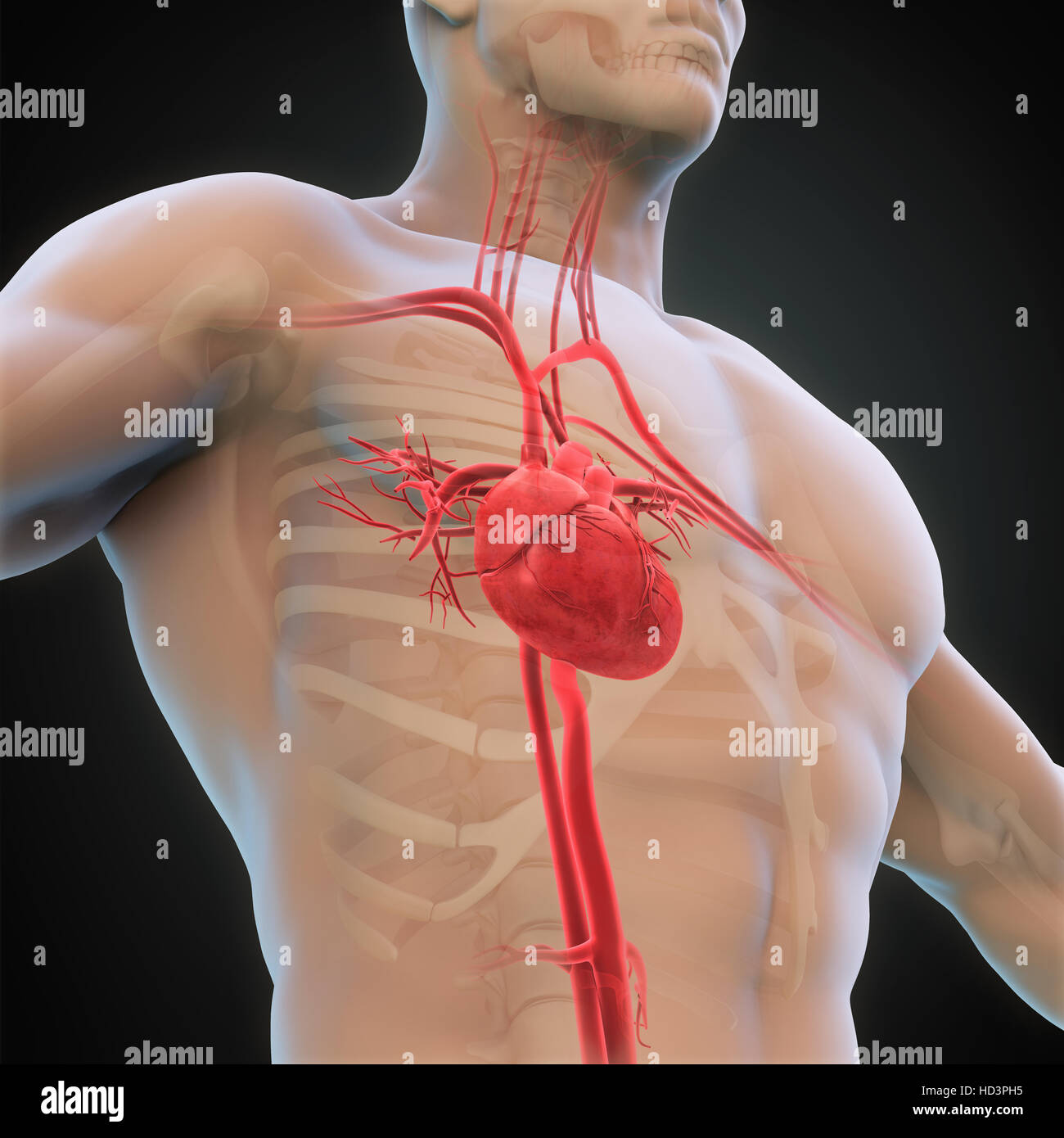 Schön Anatomie Und Physiologie Des Menschlichen Herzens Fotos ...