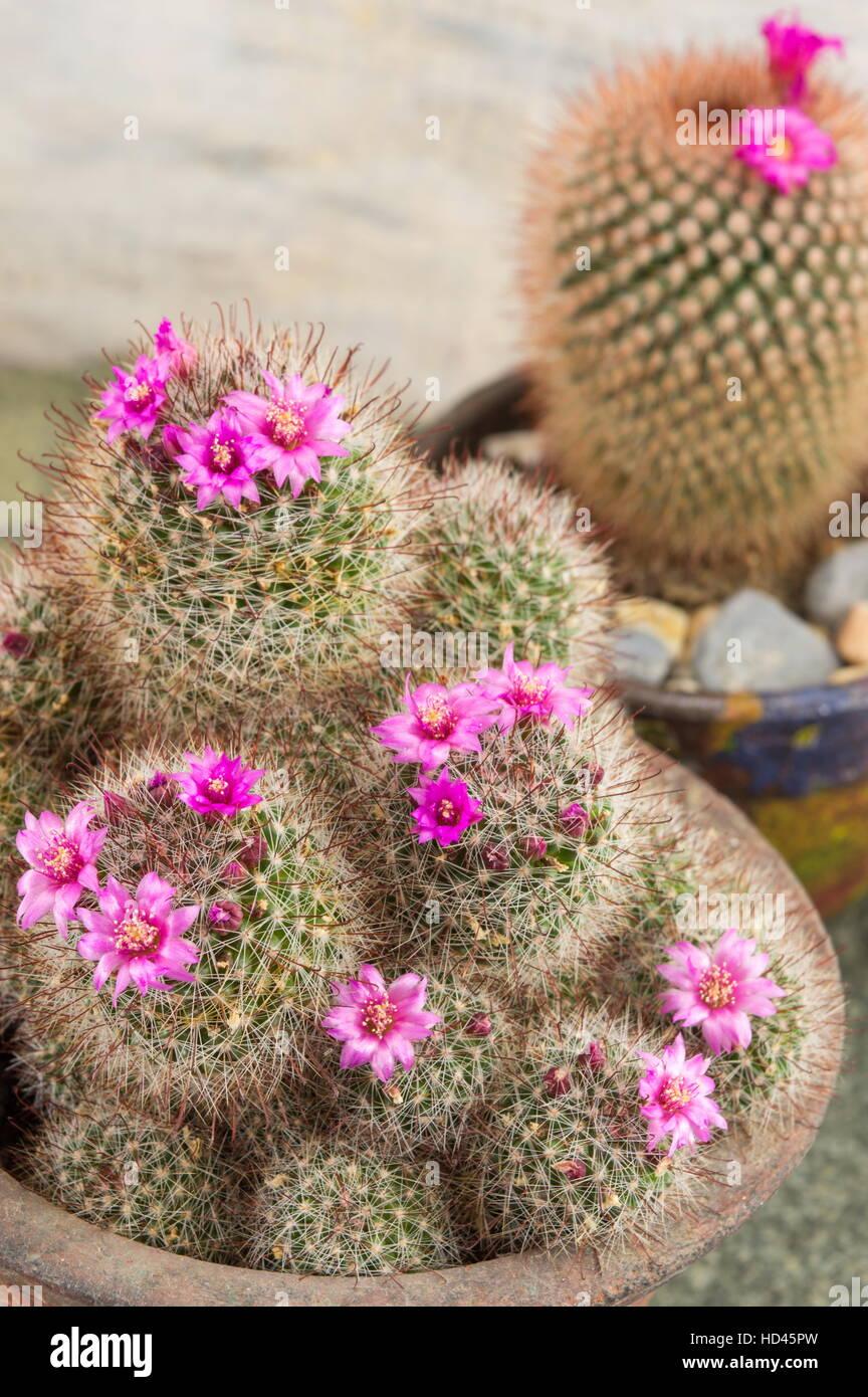 kaktus mit kleinen lila bl ten in einem topf stockfoto. Black Bedroom Furniture Sets. Home Design Ideas